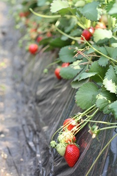 fraise2.jpg