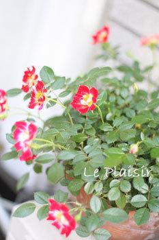 mini_rose_pt2.jpg