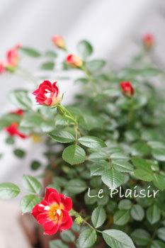 mini_rose_pt.jpg